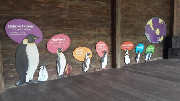 Emperor Penguin-san!